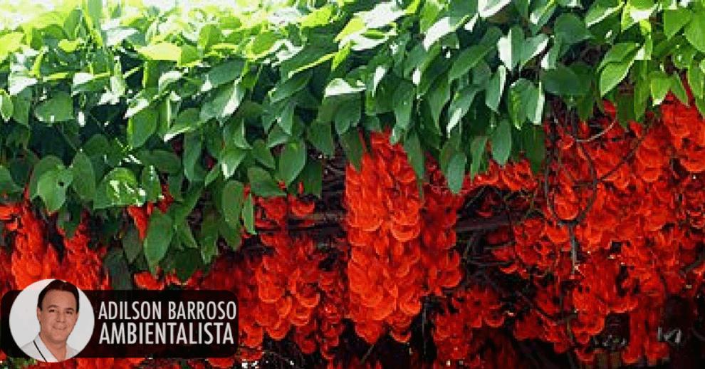 Conheça Tudo Sobre A Flor Jade Vermelha.