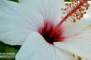 Flor de hibisco (Imagem divulgação)