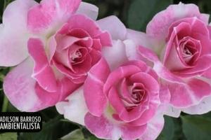 rosa (Imagem divulgação)