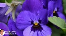 violeta (Imagem divulgação)