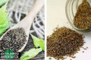 Infusão de sementes de aipo: um remédio natural para a hipertensão